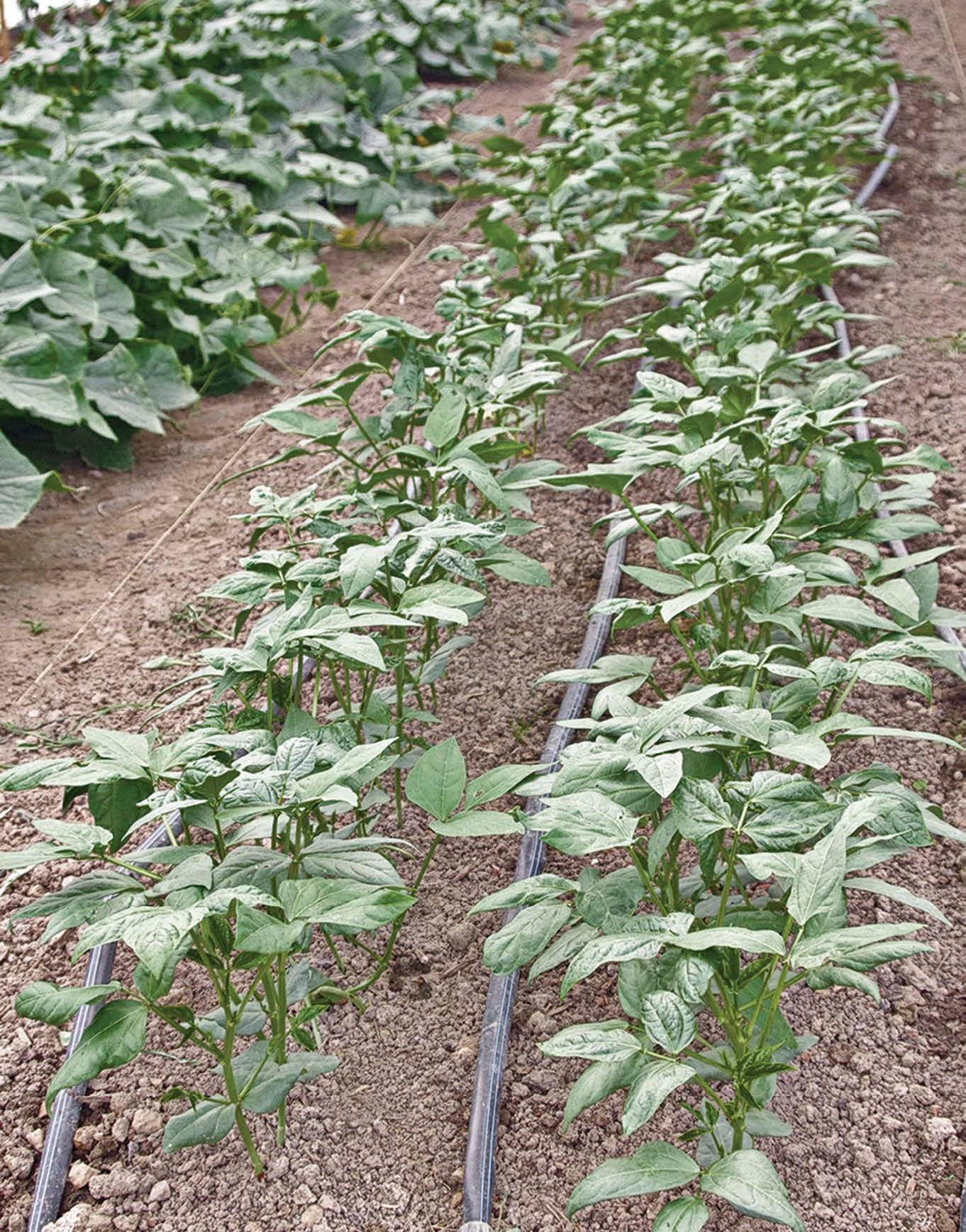 iron and clay cowpeas